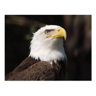 Schöner Weißkopfseeadler… Postkarte