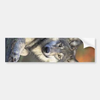 Schöner Wolf Autoaufkleber