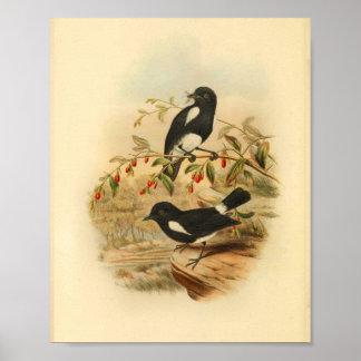 Schwarz-weißer Flycatcher-Vogel-Vintager Druck Poster