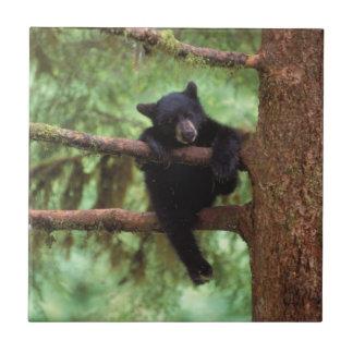 schwarzer Bär, Ursus americanus, Junges in einem Keramikfliese