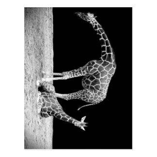 Schwarzweiss-Giraffen zwei Giraffen Postkarte