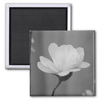 Schwarzweiss-Magnoliecentennial-Blüte Quadratischer Magnet