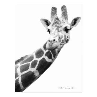 Schwarzweiss-Porträt einer Giraffe Postkarte