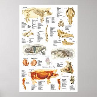 Schwein-Skelettmuskel-Anatomie-Tierarzt-Diagramm Poster