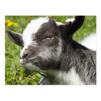 Seltene Zucht Baby Bagot Ziegen-  Postkarte