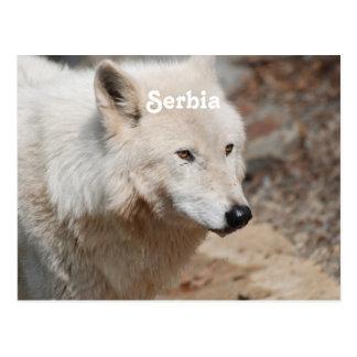 Serbischer Wolf Postkarte
