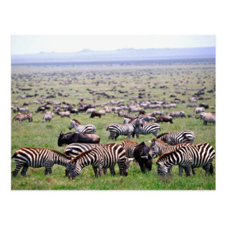 Serengetti Plains voll von den Herden von Zebras Postkarte