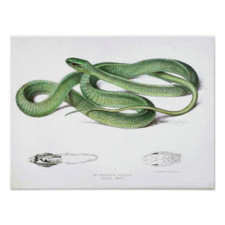 Serpent vintage Dessin-Vert-Africain