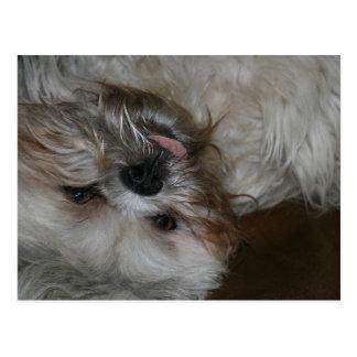 Shih tzu Welpenhundeentzückendes niedliches Foto Postkarte