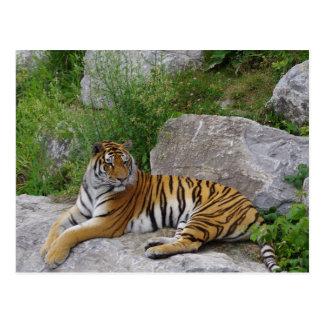 Sibirischer Tiger, der auf einem Felsen sich Postkarte