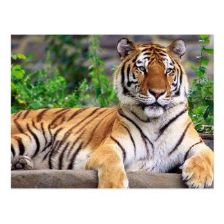 Sibirischer Tiger Postkarte