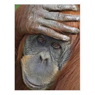 Sichernder weiblicher Sumatran Orang-Utan Postkarte