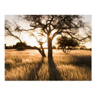 Silhouette der Akazien-Bäume im Gras. Mariental Postkarte