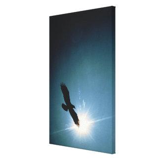 Silhouette des Fliegens des kahlen Adlers im Leinwand Drucke