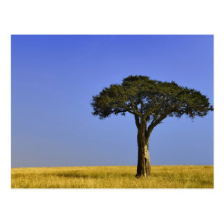 Single-Akazienbaum auf grasartigen Ebenen, Masais Postkarte