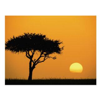 Single-Akazienbaum silhouettiert am Sonnenaufgang, Postkarte