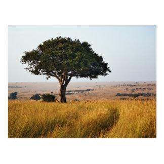 Singleakazienbaum auf grasartigen Ebenen, Masais Postkarte