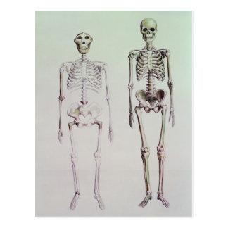 Skelette von Australopithecus Boisei Postkarte