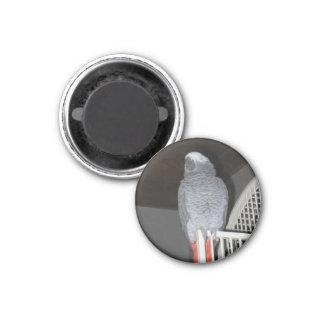 Sommeil de perroquet de gris africain magnet carré 2,50 cm