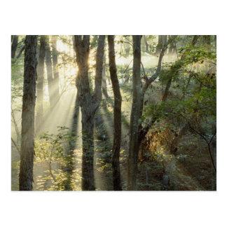 Sonnenaufgang durch Eichen- und Hickorywald, Postkarte