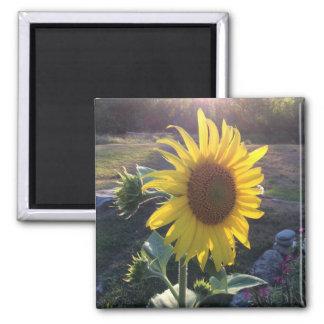 Sonnenblume am Sonnenuntergang --- Quadratischer Magnet