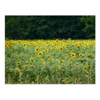 Sonnenblume-Felder auf dem Ostufer Postkarte