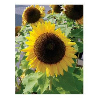 Sonnenblume Girasol Foto Postkarte