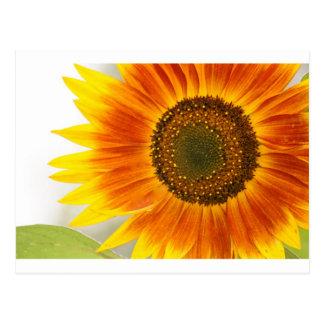 Sonnenblume Postkarten