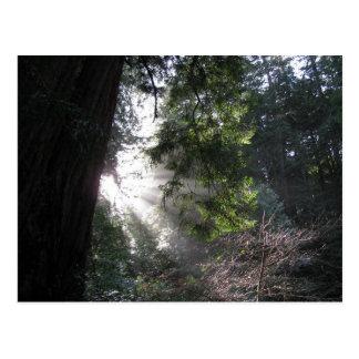 Sonnenlicht, das durch Rotholz-Wald glänzt Postkarte