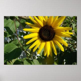 Sonnenschein-Sonnenblume Poster