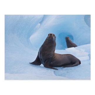 Spielerisches Sternseelöwe-Wringen auf Eisberg Postkarte