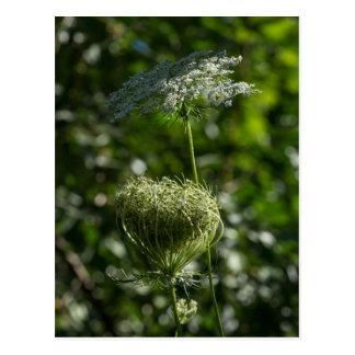 Spitze-weiße Wildblume-Postkarte der Königin-Anne Postkarte