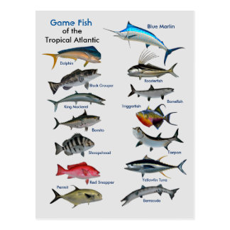 Sportfisch der tropischen atlantischen Postkarte