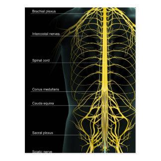 Stamm-Nerven-Versorgung Postkarte