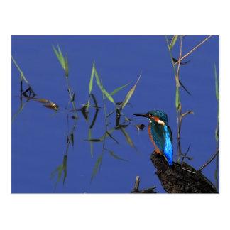 Stillstehende Eisvogel-Postkarte Postkarte
