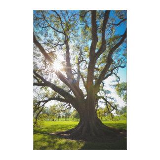 Südlicher Live Oak-Baum Leinwanddrucke