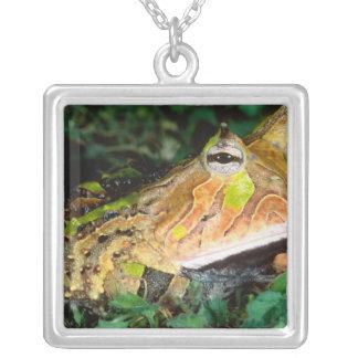 Surinam-Horn-Frosch, Ceratophrys cornuta, gebürtig Versilberte Kette