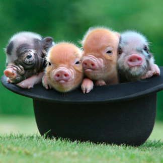 Three little pigs - three pigs - pig hat