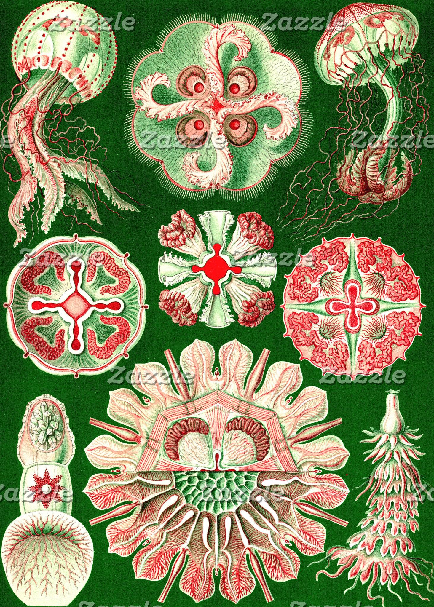 Ernst Haeckel Discomedusae (Aurelia)