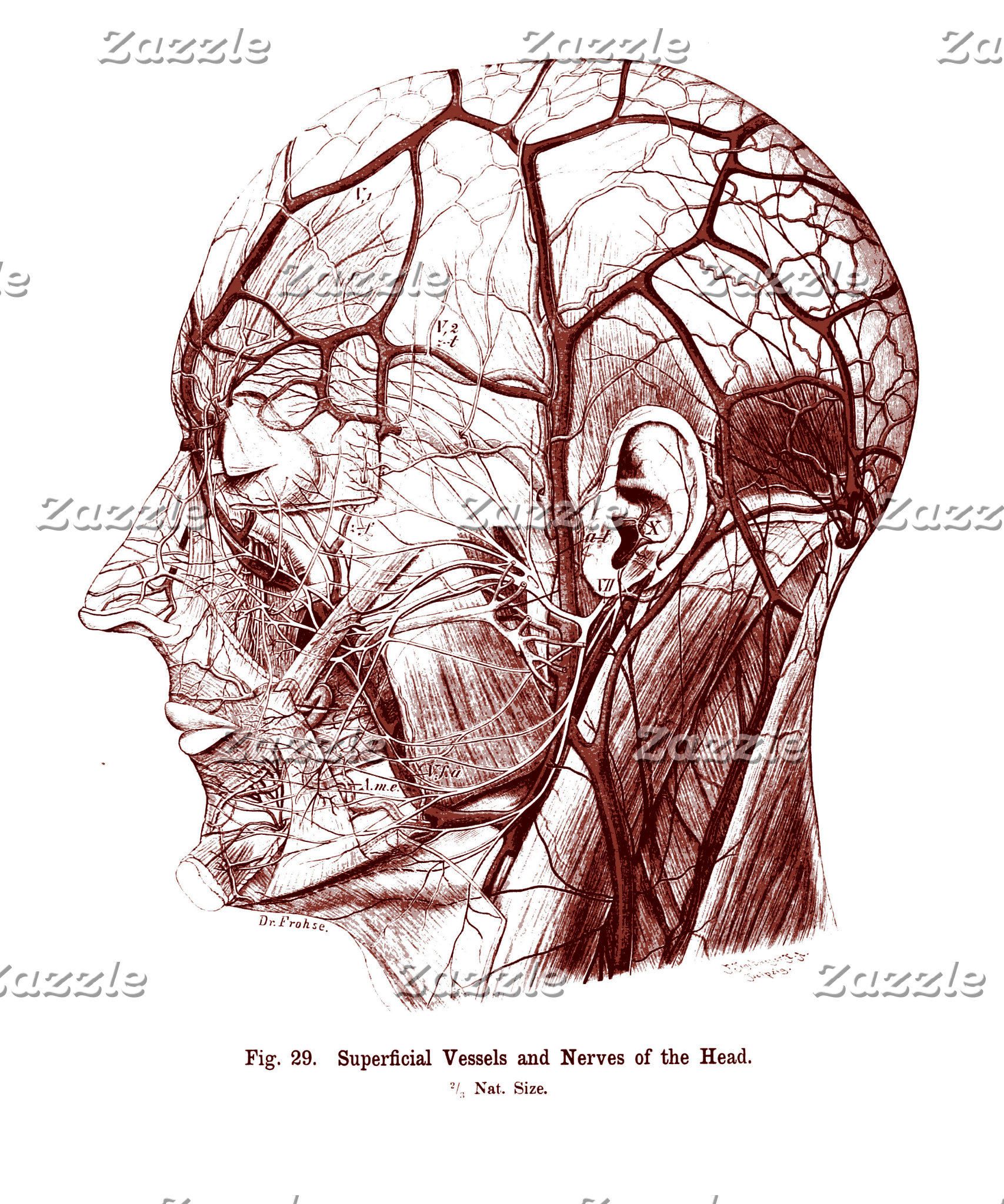 Superficial Vessels and Nerves of the Human Head