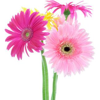 A Gerbera Daisies Pink