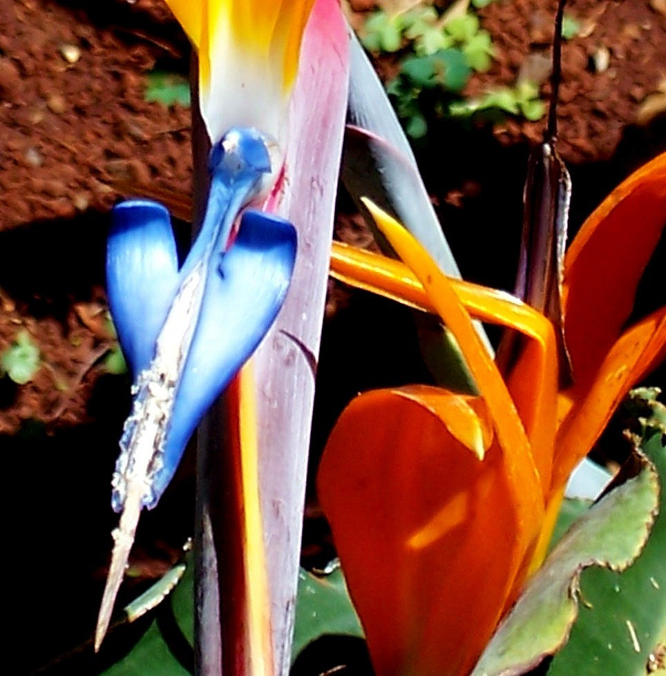 Bird-of-Paradise a Front View