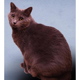 Russian Blue Cat Staring