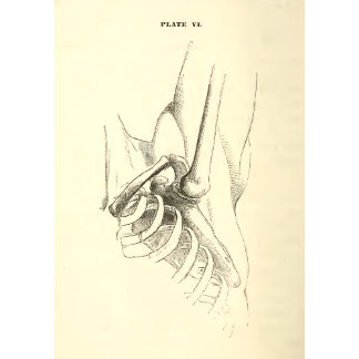 Vintage Anatomy | Shoulder Joint