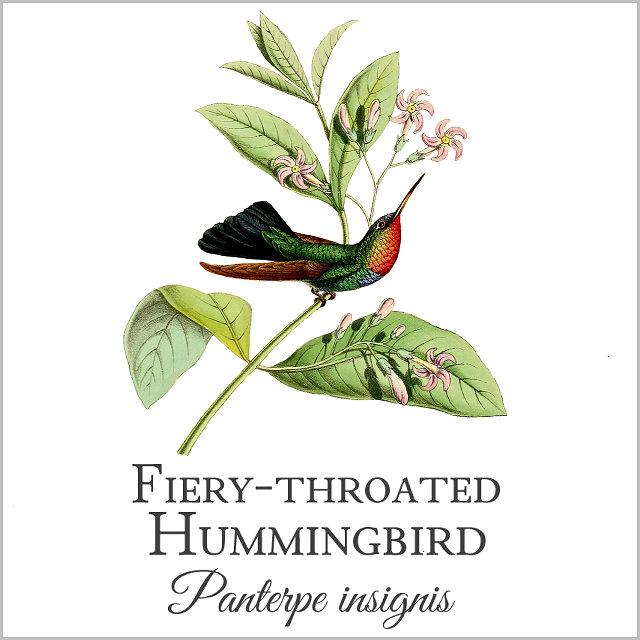 Fiery-throated