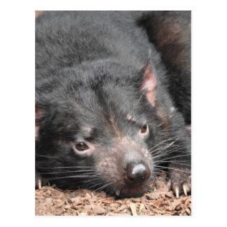 Tasmanischer Teufel Postkarten