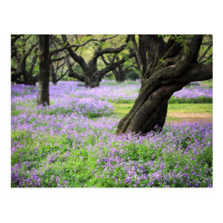 Teppich der chinesischen violetten Kresse Postkarte