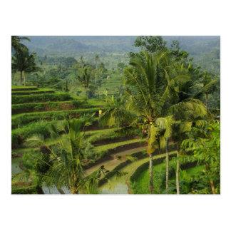 Terrasse Ricefield in Bali Postkarte