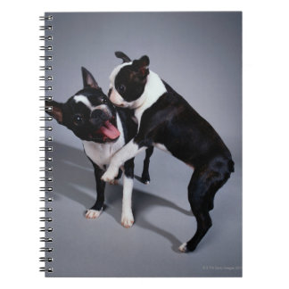 Terriers espiègles de Boston Carnets
