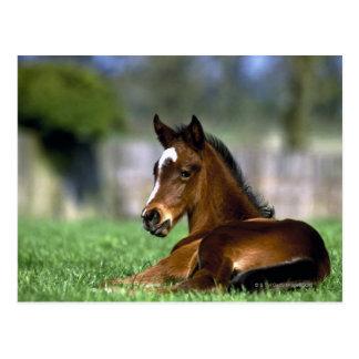 Thoroughbred-Pferd, Irland Postkarte